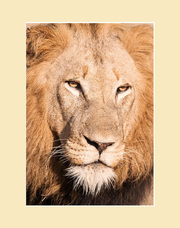 I am the Lion: Face to Face African Lion Print