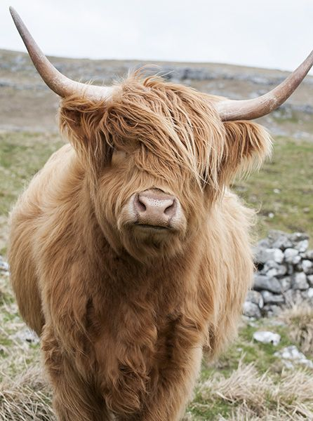 Out on the Hills Highland Cow Greetings Card